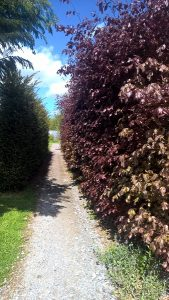 Copper Beech Hedging and Yew Hedging.